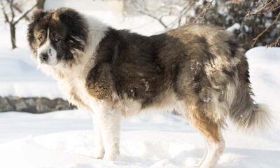 Caucasian Ovcharka